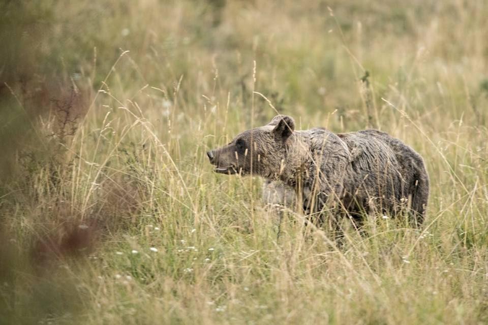 Avertizare Ro-Alert: Urs în apropierea gospodăriilor de pe Valea Jelnei