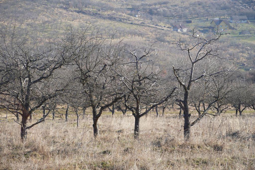 Ing. Mihai Bilegan, despre metoda veche cu care pot fi protejați pomii de îngheț