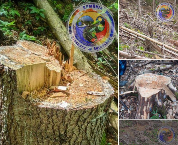 Dezastru în pădurile comunei Telciu. S-a tăiat ilegal lemn în valoare de circa o jumătate de milion de lei